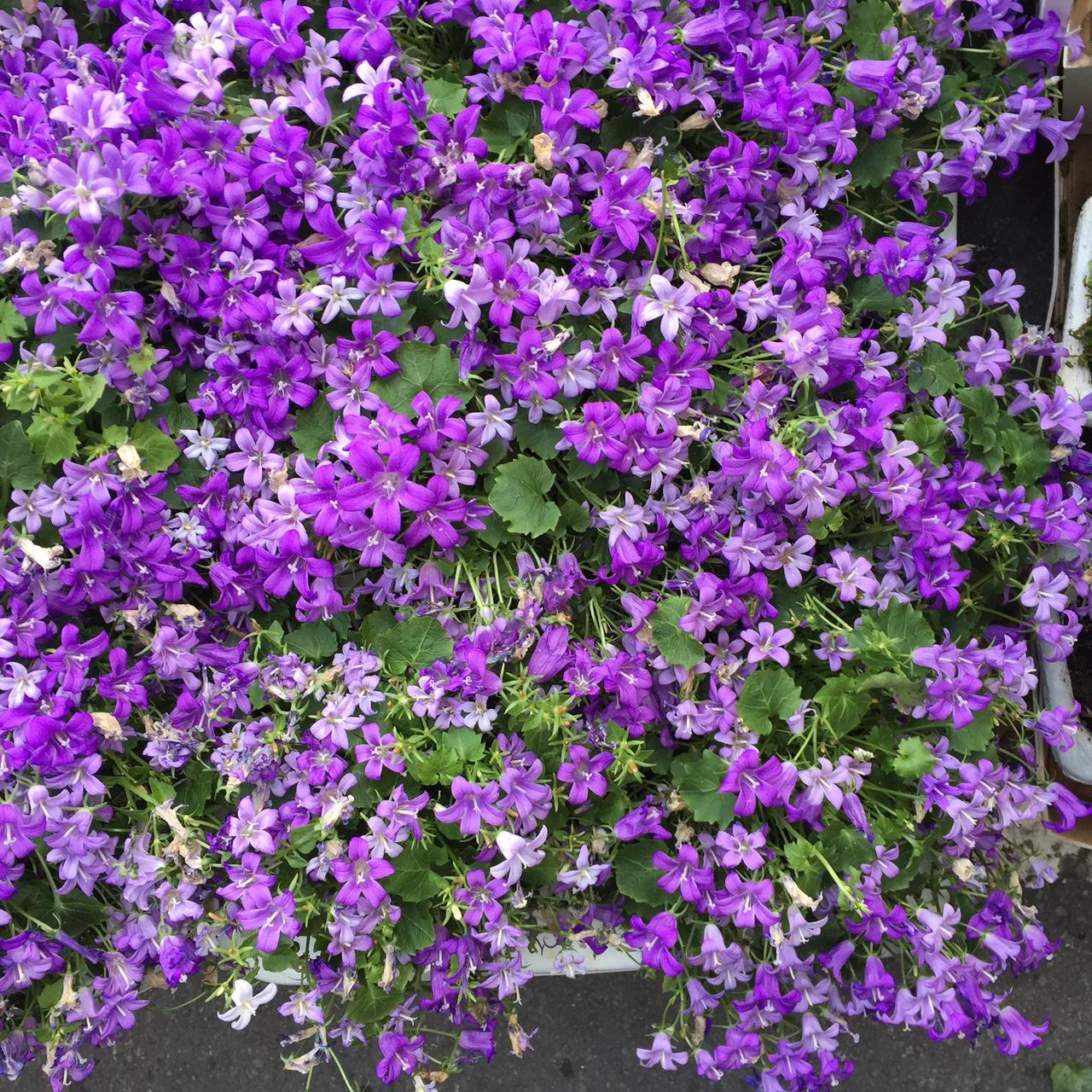 fleurs san remo